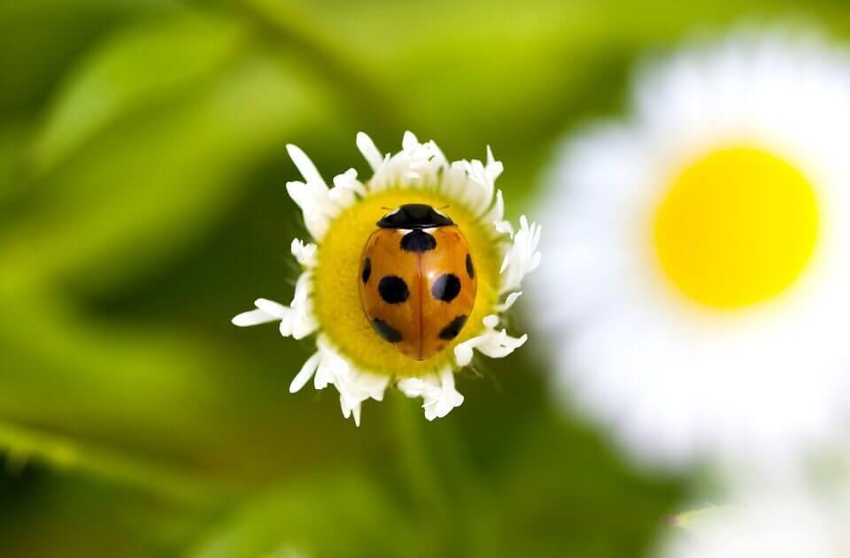 ladybug-bedbugs-1456207_960_720